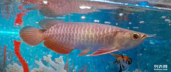 18pcs of 24K Gold Xbacks to clear at S350 50 discount above 南宁水族批发市场